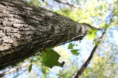 """Green Ash canopy (Fraxinus pennsylvanica) - Forest farming combines the ecological stability of natural forests with higher productivity of agricultural systems.""""     Photo: John Haworth  For more forest farming resources & info: www.eXtension.org/forest_farming"""