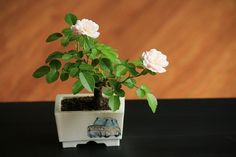 bonsai / miniature rose