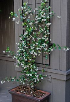 Star jasmine in planter with tellis hung on the wall just above for it to climb. Star jasmine in Modern Garden Design, Modern Design, Contemporary Garden, Landscape Design, House Landscape, Garden Trellis, Garden Pond, Diy Trellis, Garden Shrubs
