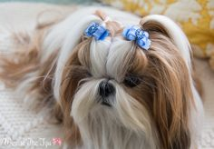 Did I mention I really plumped up Winnie's blue bow collection with our latest Doggie Bow Ties order? This girl is living in blue this spring. *PL106~ #2Puppy's First Dog BowsSilkies™Bluefrom Doggie Bow Ties*