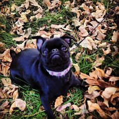 Little pug is excited for Fall