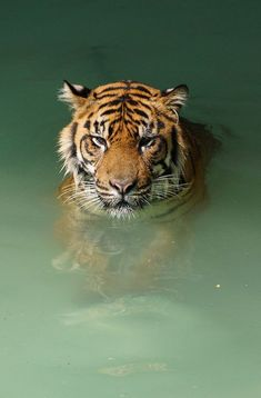 Swimming Sumatran Tiger