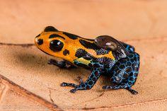 Ranitomeya imitator by John P Clare, via Flickr