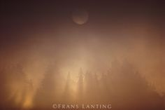 Frans Lanting - Redwoods in evening fog, Sequoia sempervirens, Monterey Bay, California