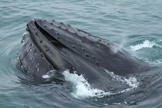 Whale-Watching in Husavik Flora Und Fauna, Whale Watching, Island, Fire And Ice, Islands