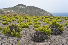 Santorini Wine Tip of the day: The vines of grow in a circular nest called Kouloura so as to be protected from the winds and capture the humidity! Wine Punch, Sweet Wine, Santorini Greece, Wine And Spirits, Grape Vines, The Locals, Vineyard, Around The Worlds, Beach