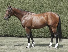 Frankel(2008)Galileo- Kind By Danehill. 3x4 To Northern Dancer, 4x5x5 To Natalma, 5x5 To Buckpasser. 14 Starts 14 Wins $6 Million Est. Won 2011 2000 Guineas(Eng-1), St. James's Palace S(Eng-1), Sussex S(Eng-1)Twice In 2011 & 2012, Queen Elizabeth II S(Eng-1), European Champion 2 YO In 2010, 3 YO In 2011, & Older Horse In 2012. Horse Of The Year In 2011 & 2012 In Europe.