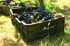 Uvas de Mara. Edo Zulia