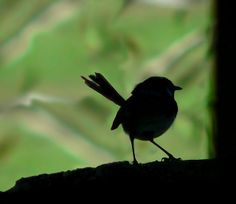 Blue wren silhouette by David Cosgrove, via Flickr