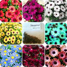 christmas gift! 30pcs/bag African rare Blue Eyed Daisy Seeds Osteospermum seeds bonsai Potted Flowering Plants for Home Garden <3 Detailed information can be found by clicking on the image
