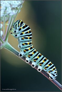 Machaon Caterpiller