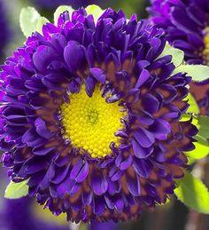 Purple Aster (Fall Flower) BEAUTIFUL!