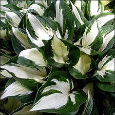 "Hosta x ""Fire And Ice"" - Hosta / Plantain Lily - Nos végétaux - Spring Flowering Bulbs, Spring Plants, Hosta Plants, Garden Plants, Hosta Fire And Ice, Jardins D'hostas, Spring Perennials, Plantain Lily, Hosta Varieties"