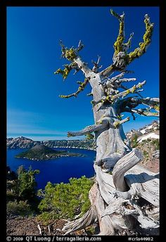 Whitebark pine tree and lake. Crater Lake National Park, Oregon, USA. by QT Luong