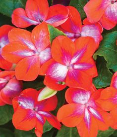 Impatiens, Patchwork Cosmic Orange