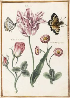 Robert Nicolas, Broken tulip, Rose of Holland and large daisy, 17th century