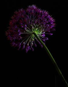 64 Ideas flowers black background photography beautiful for 2019 Flowers Black Background, Dark Flowers, Flowers Nature, Purple Flowers, Shades Of Purple, Green And Purple, Blossom Flower, Flower Art, Amazing Flowers