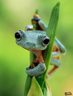 Whats Up - Wallace Flying Frog
