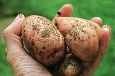 How to grow potatoes organically -- when and how to plant, hill, harvest.