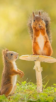 Adult red squirrel standing on mushroom and young below it
