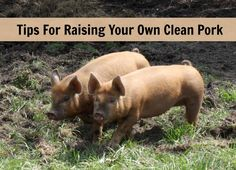 Tips for raising pigs - grow your own clean pork. Podcast interview with Jenna from the Flip Flop Barnyard #homestead #pigs #podcast