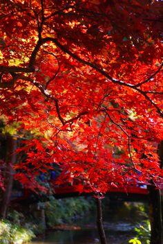 紅葉映える小國神社