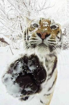 Tiger in the snow touching camera