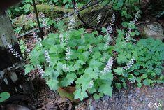 Tiarella trifoliata v. Plum Garden, Shade Garden, California Native Garden, Rain Garden, Heuchera, Woodland Garden, Seed Pods, Native Plants, Northern California