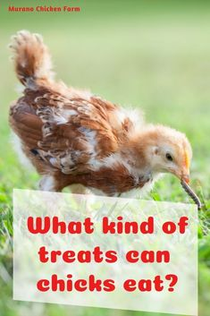 What Can Chickens Eat, Raising Backyard Chickens, Backyard Chicken Coops, Baby Chickens, Backyard Farming, Chicken Eating, Chicken Feed, Chicken Lady, Raising Ducks