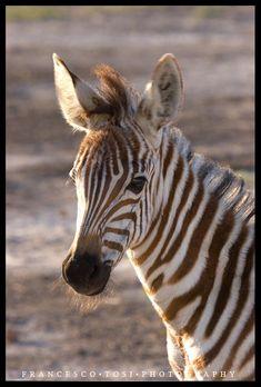 Zebras my favourite animal on pinterest zebras africa and kenya