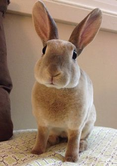 In case you are searching for a furry friend that is not only adorable, but simple to have, then look no further than a family pet bunny. Funny Bunnies, Baby Bunnies, Cute Bunny, Bunny Pics, Mini Rex Rabbit, Pet Rabbit, Animals And Pets, Baby Animals, Cute Animals