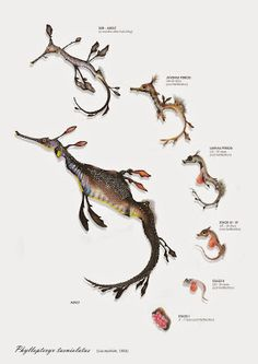 Weedy Seadragon - Cristina Pérez Boix Weedy Sea Dragon, Illustration Botanique, Beast Creature, Deep Sea Creatures, Poisons, Sea Art, Seahorses, Sea Monsters, Illustrations And Posters