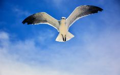 Download wallpapers seagull, 4k, blue sky, clouds, Laridae