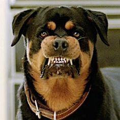 Friend: Dont worry hes never bitten anyone Dog: Animals And Pets, Baby Animals, Funny Animals, Search And Rescue Dogs, Rottweiler Love, Dog Barking, Livestock, Dog Pictures, Funny Dogs