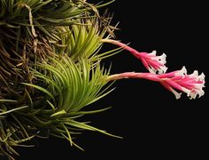 Tillandsia cocoensis ✴ airplant ♥ airplants