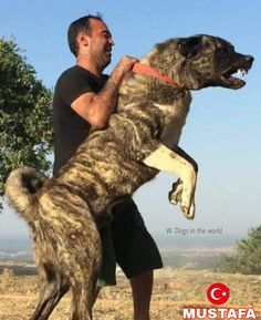 MUSTAFA FROM TÜRKIYE Giant Dogs, Big Dogs, Large Dogs, Kangal Dog, Mastiff Mix, Dog Best Friend, Anatolian Shepherd, Guard Dog, Real Dog