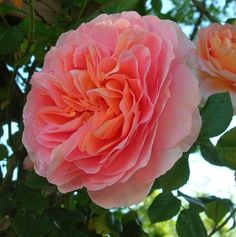 """ Abraham Darby "" (AUScot) - English Rose Collection - Shrub rose - Apricot and light pink, lighter edges - Strong, fruity fragrance - David Austin (UK), 1985"