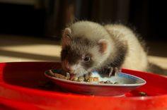 This ferret looks like my ferret Clover. :)