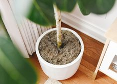 Close up of how we have our Ficus Audrey potted | via Yellow Brick Home