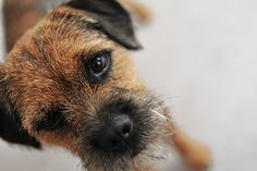 border terrier Cute Puppies, Cute Dogs, Border Terrier Puppy, Patterdale Terrier, Virtual Pet, Cutest Dog Ever, Pet Id, Brown Dog, Best Dog Breeds