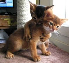 Personality and Temperament of Abyssinian Cat.Click the picture to read