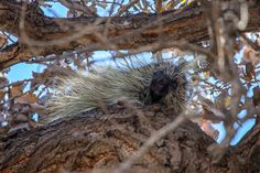 Looking for a Mountain Chickadee while bird-watching and this is what we saw. Sometimes you cannot see the adorable porcupine face for the quills.New Mexico