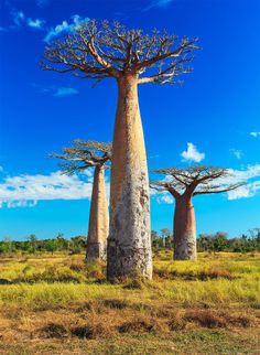 The eerily prehistoric Baobab tree is found throughout Madagascar. Only one other country in the world--Australia, is home to this tree. Desert Trees, Desert Plants, Unusual Plants, Exotic Plants, Baobab Tree, Giant Tree, Tree Roots, Tree Photography, Countries Of The World