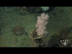 New species of deep-sea coral - Gersemia juliepackardae - YouTube