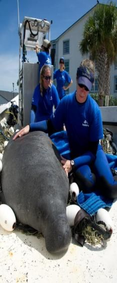 SeaWorld Orlando rescues wounded manatee in Cocoa Beach, FL. This is the 13th manatee the SeaWorld Orlando team has rescued this year.