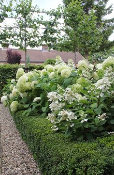 Annabelle and Oak Leaf Hydrangeas with Boxwood and Pea Stone