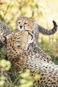 by Elliott Neep Cheetah cub snuggling Mom