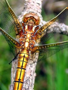 Incredible colors. Keeled Skimmer by hippobosca, via Flickr