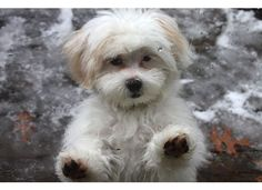 Shih-poo Puppy Grooming: How to Care for Your Poodle Mix Puppy's Fur