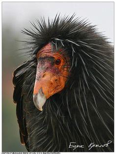 Wildlife Birds - California Condor (Калифорнийский кондор), Cathartidae - Gymnogyps californianus, Grand Canyon NP, Arizona